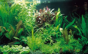 akvariumnie rasteniya